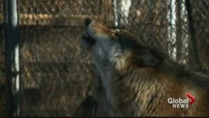 Saskatchewan wolf hunt pilot project
