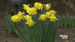 February flowers bloom at Victoria's Butchart Gardens