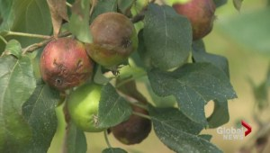 Late winter could affect apple crops in the Maritimes