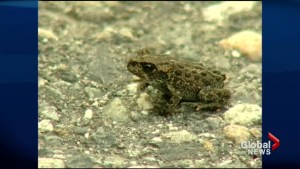 Toad tunnel saving lives in Chilliwack