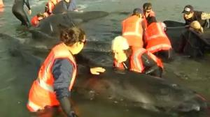 Massive civilian effort tries to save beached whales in New Zealand
