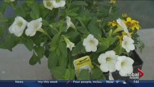How to grow a calibrachoa and petunia hybrid plant