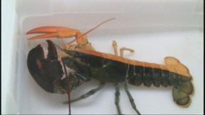 Rare two-toned lobster caught off the coast of Maine