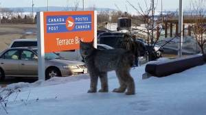 Rare lynx goes for stroll in northern Ontario town