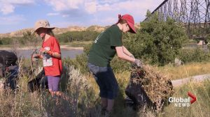 Environmentalists and volunteers tackle invasive plants in Old Man River valley