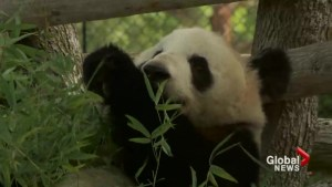 Toronto Zoo panda Er Shun pregnant with twins