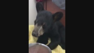 Bloodvein First Nation nurse cares for injured black bear cub