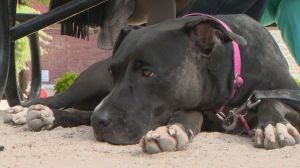 Montreal council votes on pit bull ban