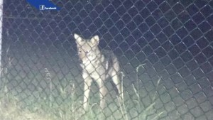 Kirkland residents on edge after coyote sightings