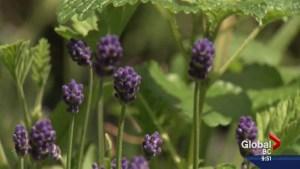 Gardenworks: Bringing lavender into your home