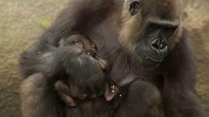 Baby gorilla makes public debut at Sydney zoo