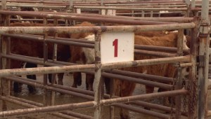 Cattle industry still strong heading into 2015