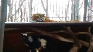 Goat given to Siberian tiger as meal instead bullies it around