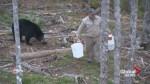 N.B. 'bear whisperer' interacts with wild black bear