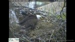 Bald Eagle brings back a cat to its nest