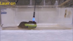 Scientists discover trigger point for kill instinct in mice using lasers