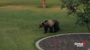 Grizzly bear surprises residents of Bearspaw neighbourhood