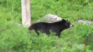 Video shows people taking photos just metres away from wild black bear in Ontario Park