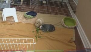 Jodie's Jiggley Piggley Farm rescues guinea pigs