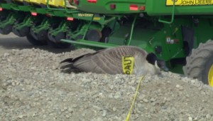 Mother goose takes over gravel pile