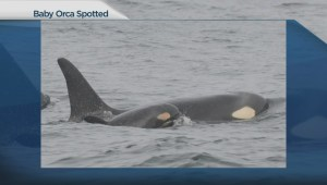 Baby boom in Southern resident killer whale population