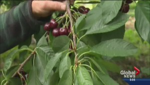 Heavy rainfall damages cherry crop