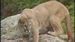 Priddis-area acreage owners concerned about cougar attacks