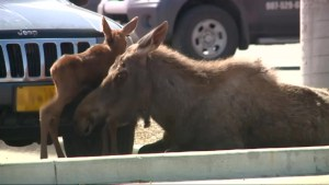 Moose gives birth in Lowe's parking lot in Alaska