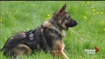 Two youths in custody after Calgary police dog stabbed