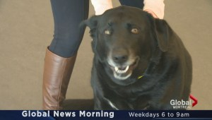 Adopt-A-Pet: Paco the black Lab