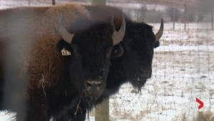 Bison could roam Banff National Park once again