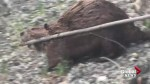 Beaver sighting on the rise in Calgary