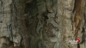Emerald ash borer plagues West Island