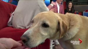 Adopt a Pet: Sam the Yellow Lab