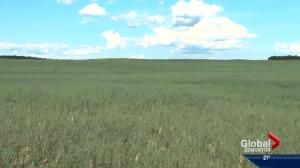 Several Alberta counties consider declaring states of agricultural disaster