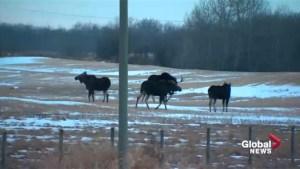 Moose roam together near Edmonton