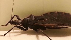 Deadly 'Kissing bug' hits Texas