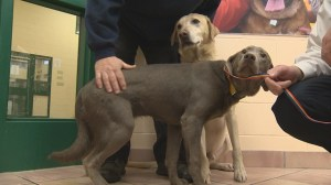 Stolen service dogs recovered