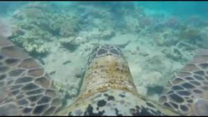 GoPro camera strapped to turtle's back offers unique view of Great Barrier Reef
