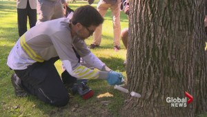 Beaconsfield fights the Emerald ash borer