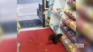 Toronto store owners trying to catch squirrels stealing chocolate bars