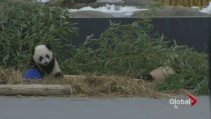 Toronto Zoo giant panda cubs named after Canada