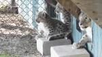 Assiniboine Park Zoo snow leopard cubs given cool names
