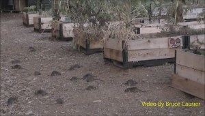Raw: Rats overrun Vancouver community garden