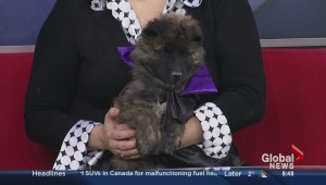 Puppies up for adoption at Saskatoon SPCA