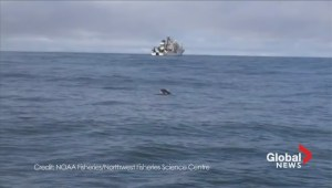 Raw:  L-Pod killer whale calf spotted off Washington coast