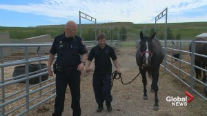 Taking the reins: volunteer helps Calgary police horses