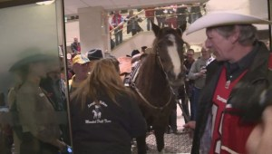 Langley horse 'Alley' joins Grey Cup festivities at Vancouver hotel