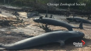 81 false killer whales die after mass stranding in Florida
