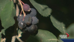 Saskatoon berry gets name change in the United States